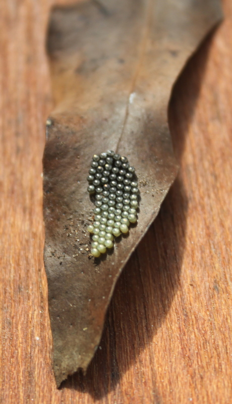 shield bug eggs