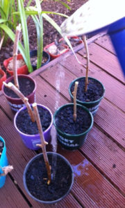 Sticks in pots - hoping to grow into mulberry trees
